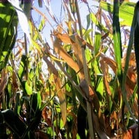 corn field 63 flickr 200x200 Monsanto's Genetically Modified Corn Losing Effectiveness