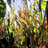 Corn's Pain Could Be These ETFs' Gain