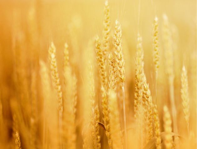 wheat 630 istockphoto Doomsday Preppers: Whats Stored in the Arctic Circle Seed Bank?
