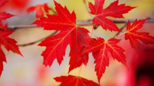 a group of red maple leaves representing canadian stocks