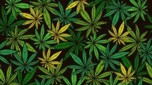 image of multiple marijuana leaves
