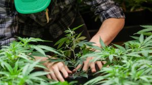 worker in flannel shirt planting young marijuana plant, symbolizing marijuana stocks and Cronos (CRON)