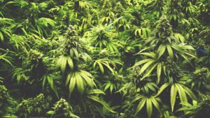 Image of marijuana plants