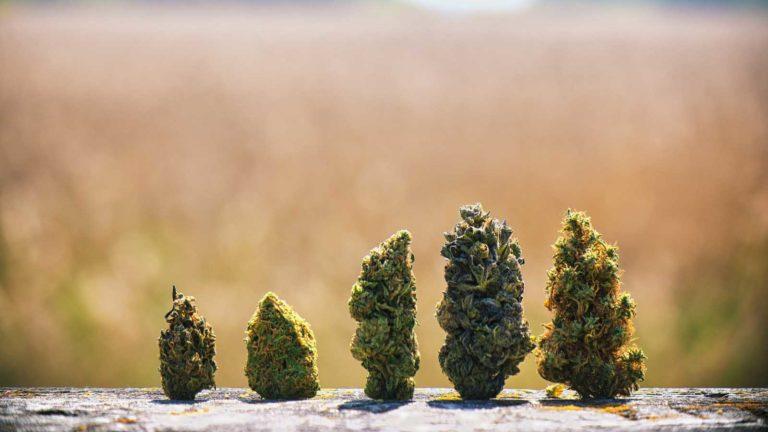 marijuana stocks - 7 Marijuana Stocks for an Election Day Boost