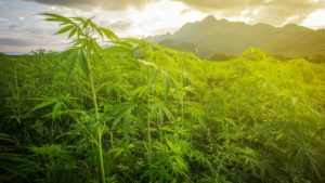 field of lush green marijuana plants with morning sun and mountain in background