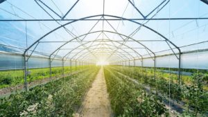 Several rows of tomato plants inside an industrial greenhouse.