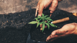 marijuana stocks Hand gently holding rich soil for his marijuana plants