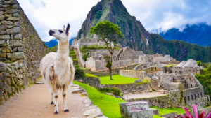 white lama standing in Machu Picchu lost city ruins in Peru with green hills and stone walls on background with soft focus