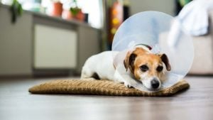 A terrier lies on a dog bed with a cone on.