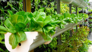 Lettuce plants on vertical farming shelf in an indoor garden