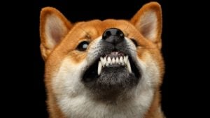 A close-up shot of an angry Shiba Inu dog growling with a black background.