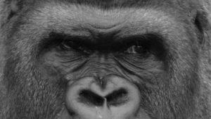 Closeup of an ape's face.