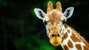A close-up shot of a giraffe with greenery in the background.
