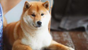 A close-up shot of a Shiba Inu dog.