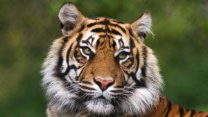 A close-up shot of a Tiger.