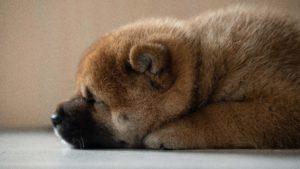 A close-up photo of a Shiba Inu puppy lying on its tummy.