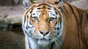 Close up shot of a tiger.